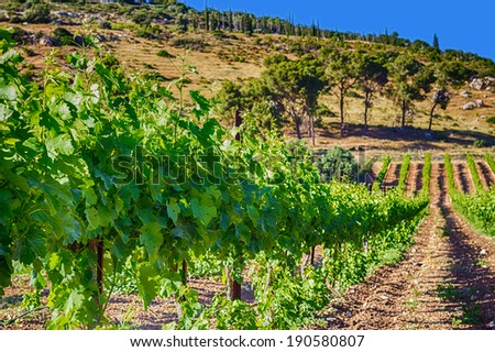 green vineyard and blue sky HDR