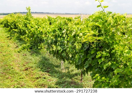 Green Vineyard and blue sky in Ukraine. the vineyards are small grapes in the field with blue sky, white clouds. Selective Focus