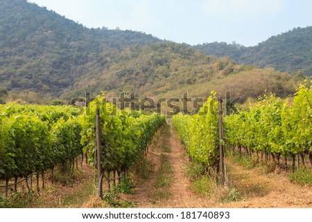 Green vineyard in the volley.