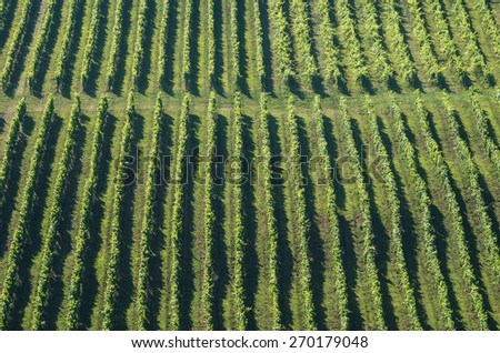 Green vineyard rows in summer - stock photo