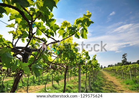 green vineyards in Thailand, Grape farm - stock photo