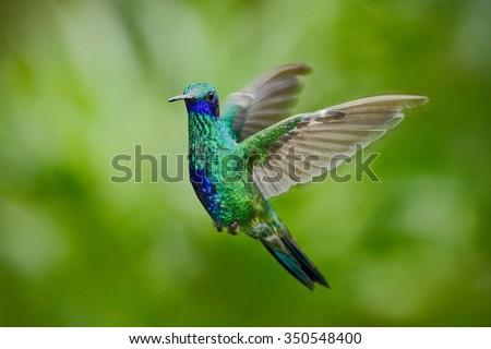 Green Violet-ear, Colibri thalassinus, green hummingbird  flying in the nature tropic forest habitat, Savegre, Costa Rica - stock photo