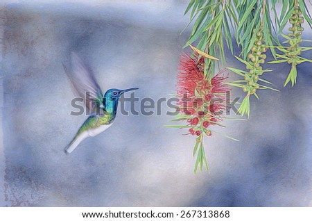 Green Violet ear hummingbird approaching flowers  in flight, digital oil painting - stock photo