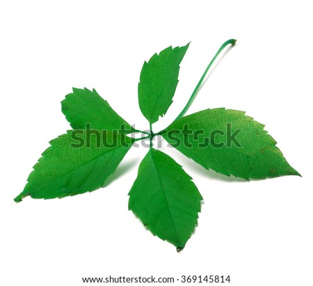 Green virginia creeper leaf. Isolated on white background - stock photo