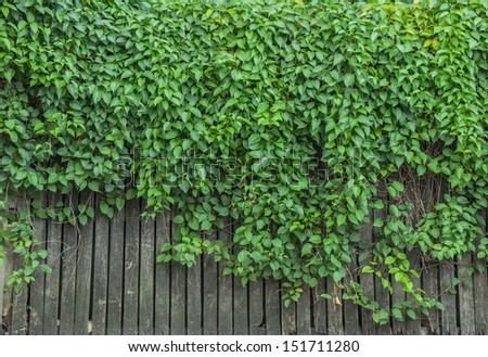 Green wall of Ivy leaves - stock photo