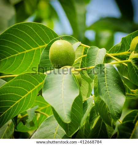 Green walnut yaoung fruits ripening on the tree with leaves, natural agricultural background - stock photo
