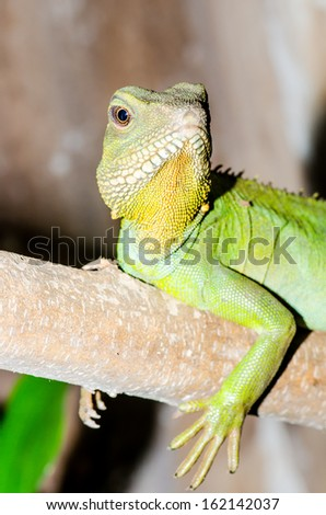 Green water dragon or Physignathus cocincinus on tree branch, Thailand