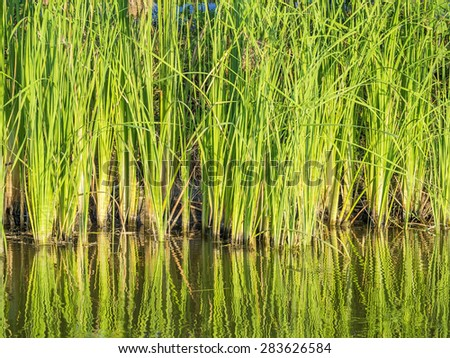 green water plants in tropical wetland, Typha Angustifolia in a natural pond blowing in the wind, outdoor on blue sky background, their long leaves showing pure and free emotion - stock photo