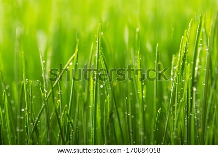 Green wet grass with dew on a blades. Shallow DOF - stock photo