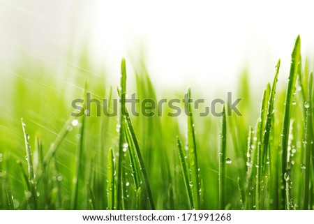 Green wet grass with dew on a blades. Shallow DOF