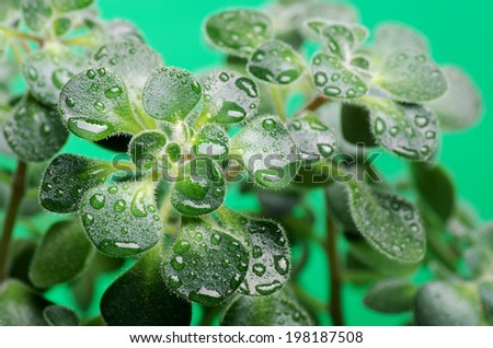 Green wet leaves close-up of domestic plant - stock photo