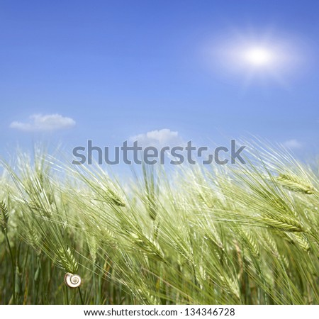 green wheat against the sky - stock photo