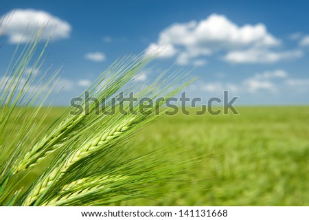 green wheat and clouds. summer landscape. - stock photo