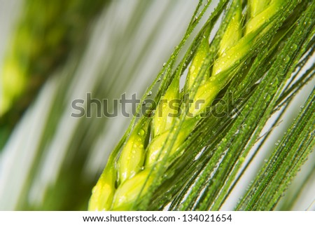 Green wheat details in spring - stock photo
