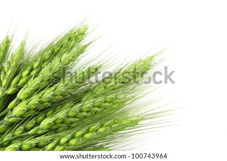 Green wheat ears,Isolated on white. - stock photo