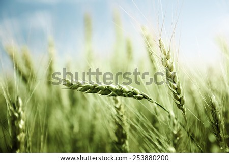 green wheat field and sunny day - stock photo