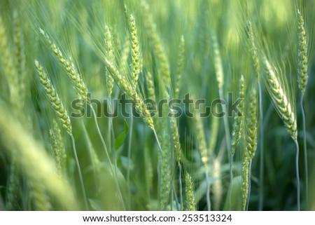 green wheat field background - stock photo