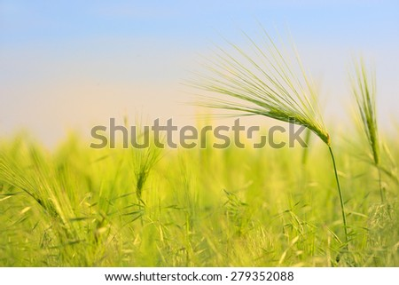 Green wheat field in spring time - stock photo