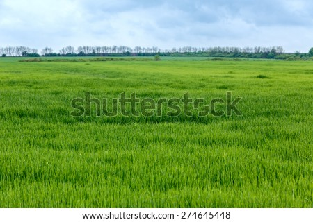 Green wheat field in springtime in Hungary - stock photo