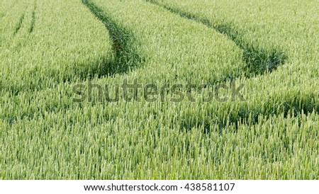 Green wheat field in sunny day.
