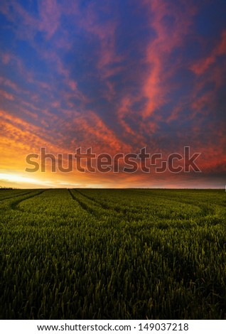 Green wheat field in sunset - stock photo