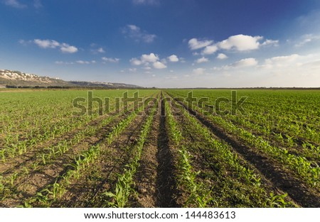 green wheat fields and blue sky