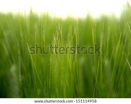 Green wheat fields in spring
