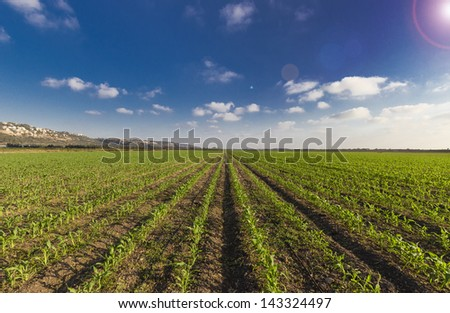 green wheat filed blue sky and sun glare