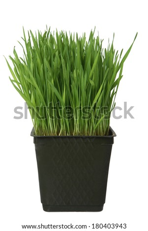 Green wheat grass in plastic container on white