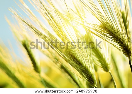 Green wheat in field at sunset - stock photo