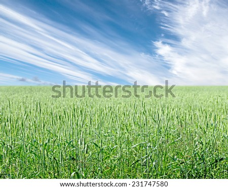 Green wheat on background sky with clouds - stock photo