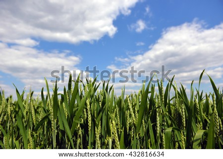 Green wheat on blue sky background