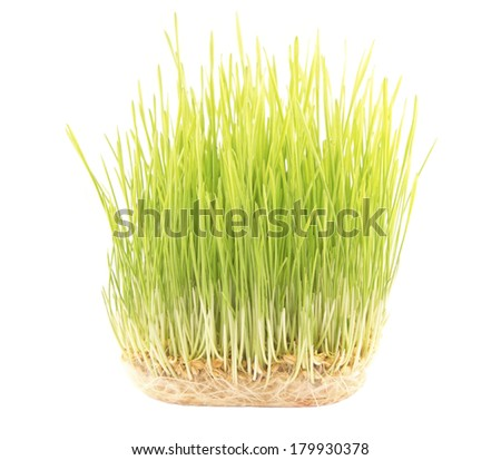 Green wheat plants  with the roots - stock photo