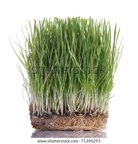 Green wheat sprouts, isolated on white background - stock photo