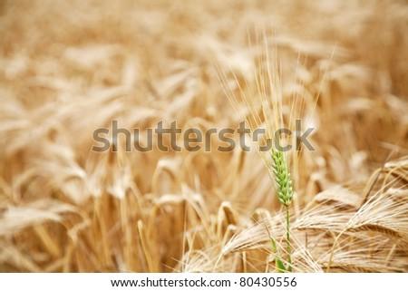 Green wheat stalk in the yellow wheat field. - stock photo