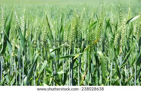 Green wheat texture on field  - stock photo