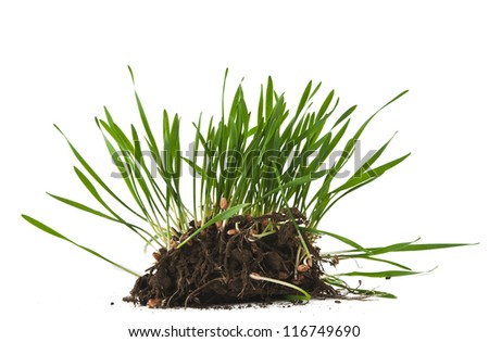 green wheat with root isolated on white background - stock photo