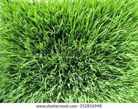 Green wheatgrass field from above - stock photo