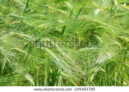 Green wheats in the field located as a whole background - stock photo