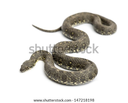 Green Whip Snake, Hierophis viridiflavus, isolated on white - stock photo