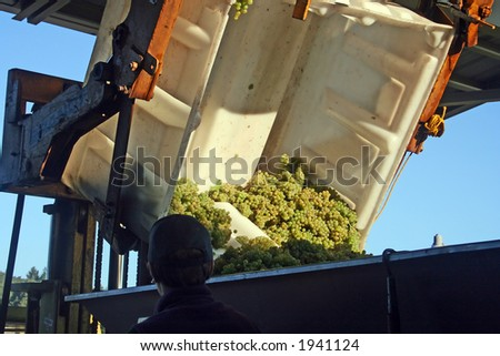 Green wine grapes being dumped into a hopper - stock photo