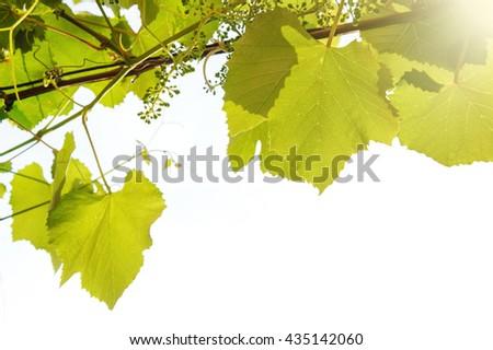 green wine leaves border on white background - stock photo