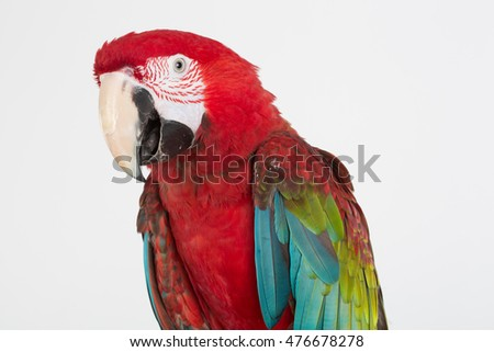 Green-winged Macaw, Ara chloropterus, in front of white backgrou