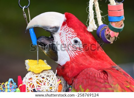 Green Winged Macaw Close up. Parrot Toys - stock photo