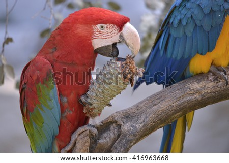 Green-winged macaw eating pine cone perched on branch - stock photo