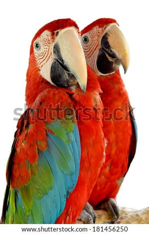 Green-winged Macaw isolated in white background