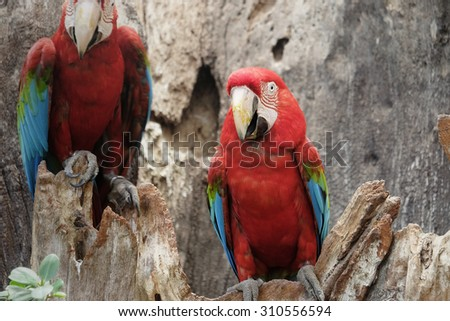 green-winged macaw standing on the wood - stock photo