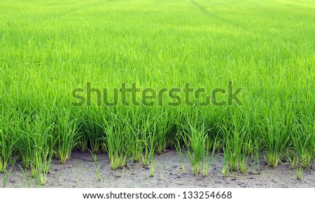 green with rice field - stock photo