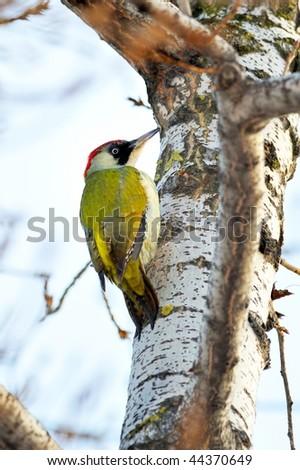 green woodpecker (picus viridis) - stock photo