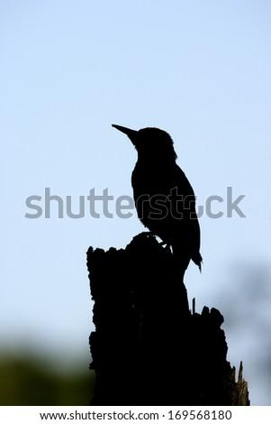 Green woodpecker, Picus viridis, single bird backlit, Staffordshire                  - stock photo